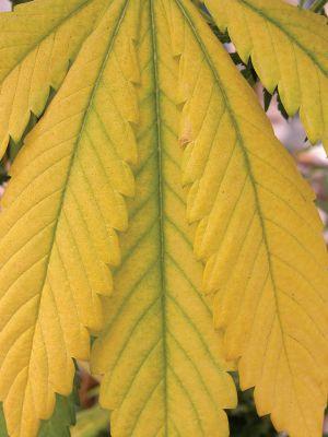 Marijuana nutrient problems cannabis nitrogen mightylinksfo