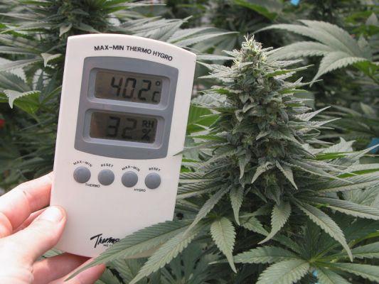 Mandala Seeds Marijuana Cannabis Heat Resistance